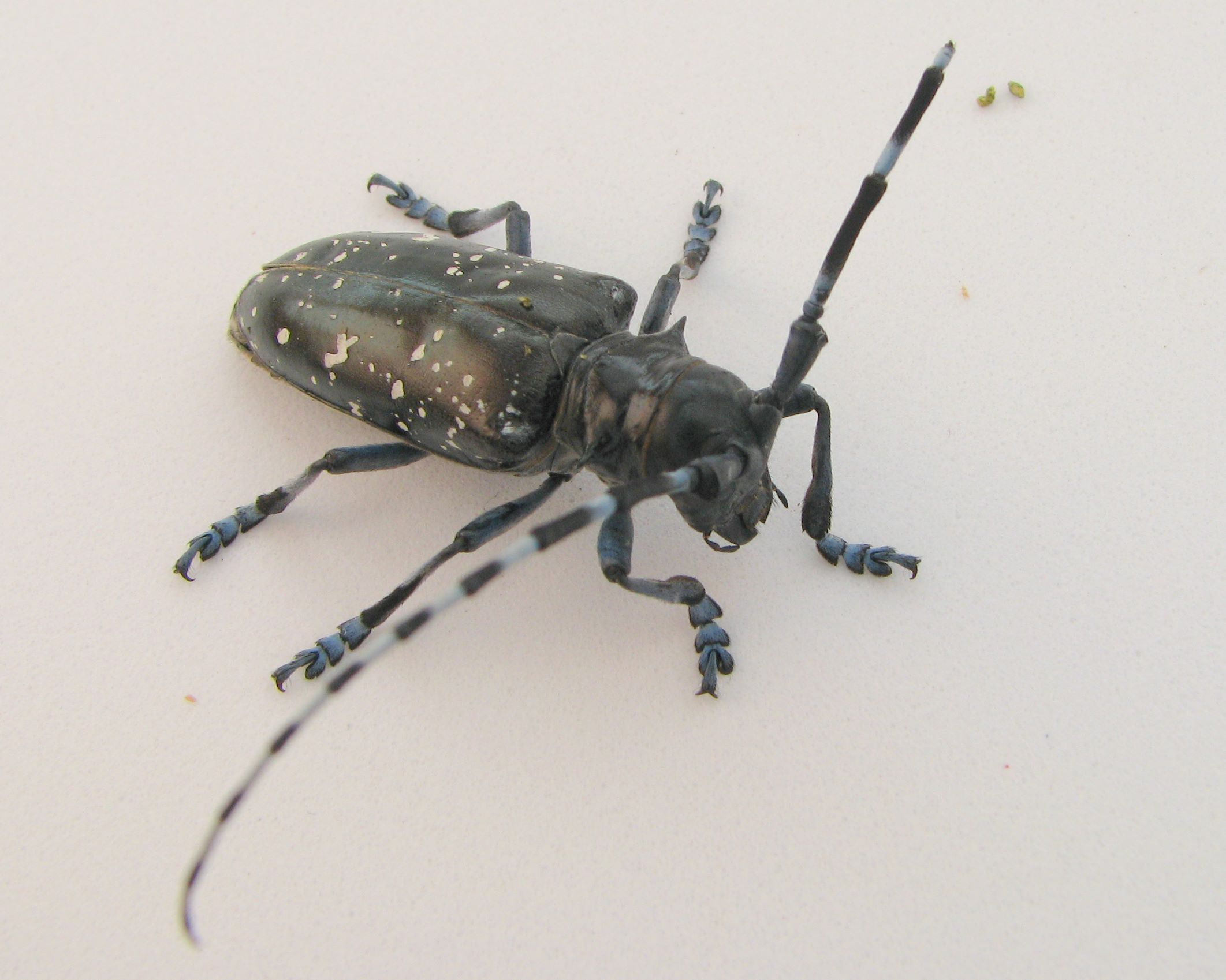 asian longhorned beetle images