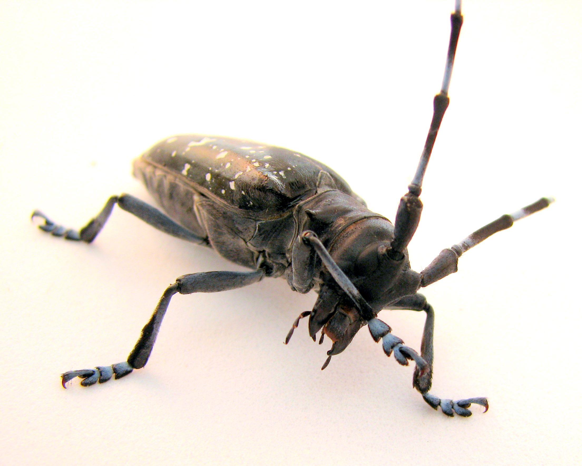 Asian long horned beetle massaschusetts report