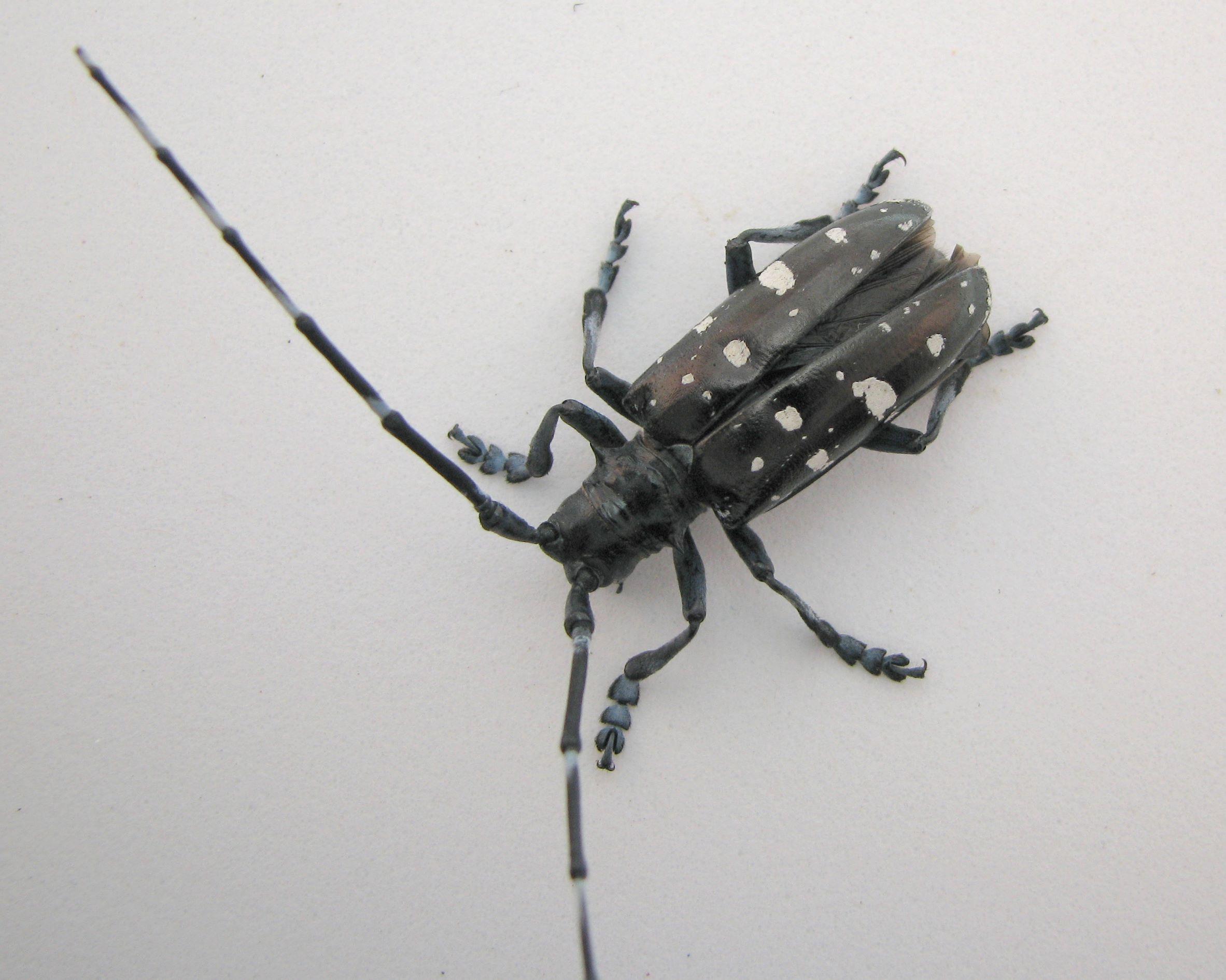Blog Archives Tag: Asian longhorned beetle USDA