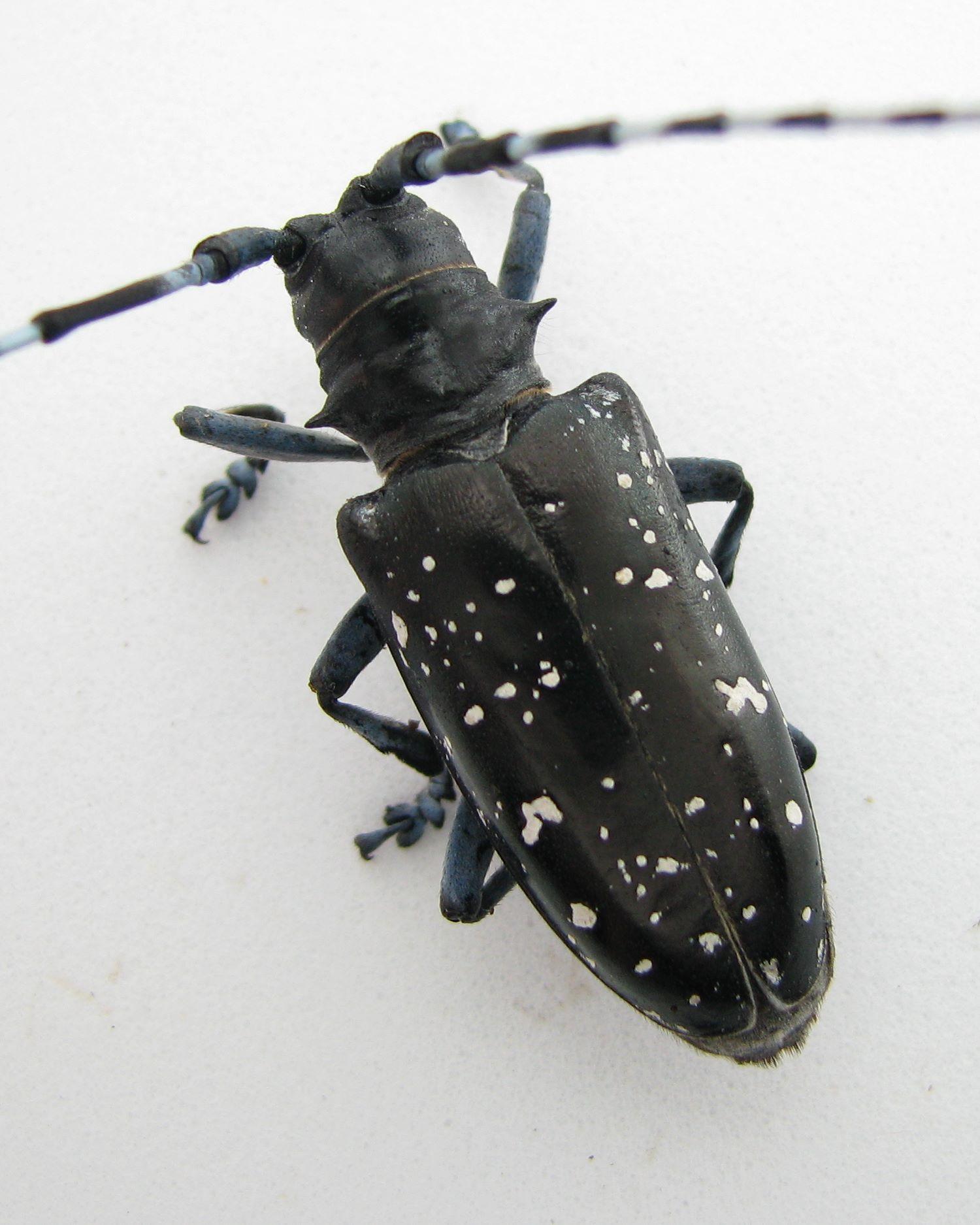 Asian longhorned beetle in massachusetts