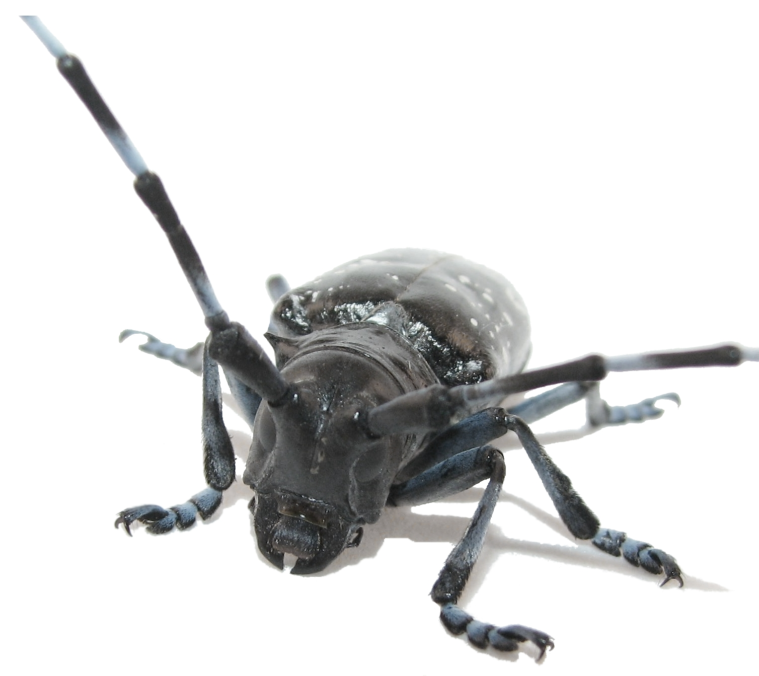 Asian longhorned beetle life cycle