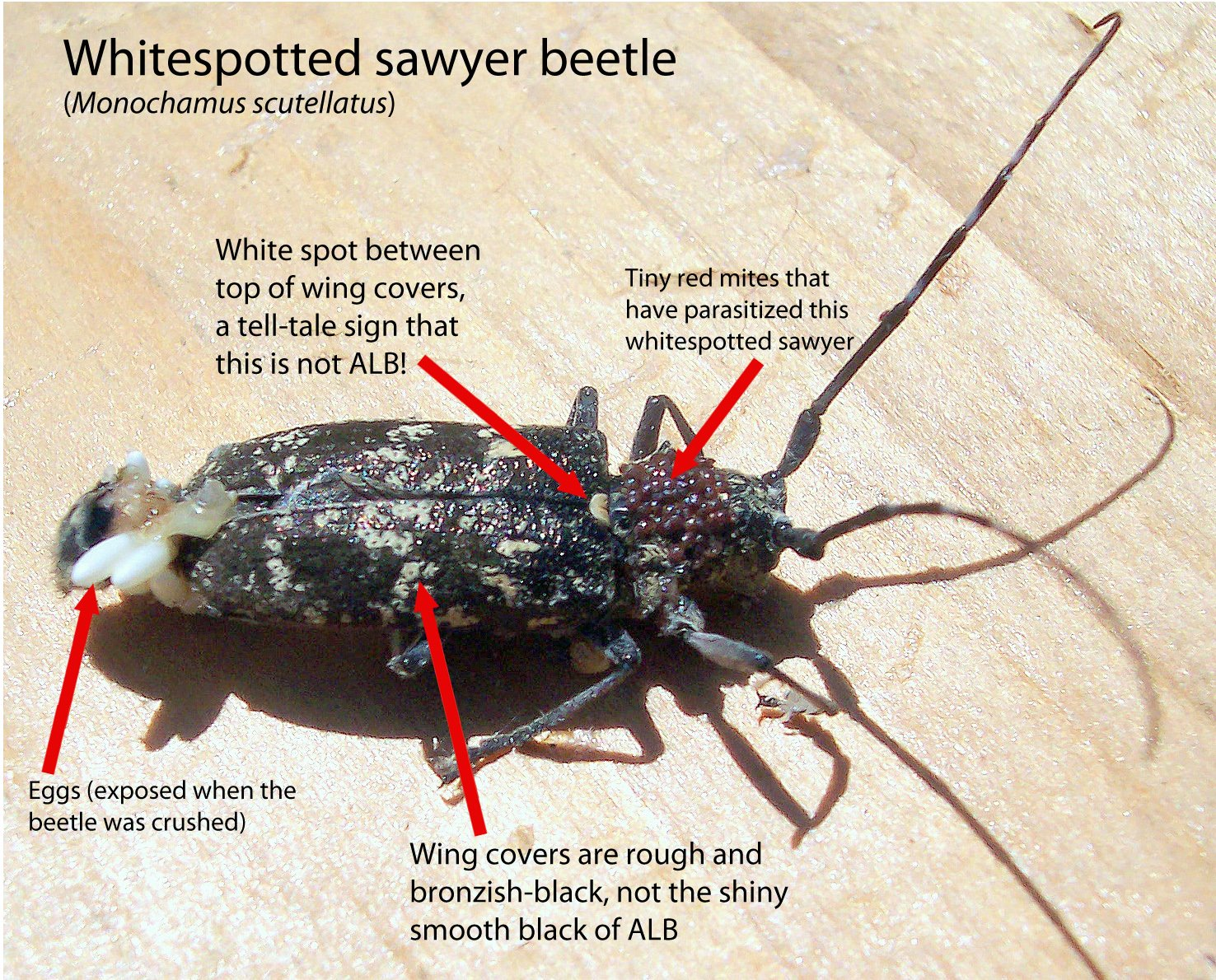 Asian Longhorned Beetle Telegram 23