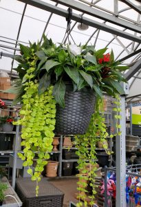 Creeping Jenny (Lysimachia nummularia) in a hanging basket)