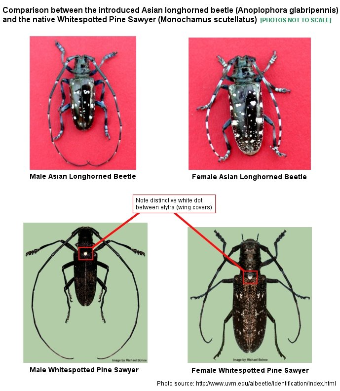 Asian Longhorned Beetle vs. Whitespotted Pine Sawyer