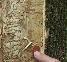 EAB tree damage