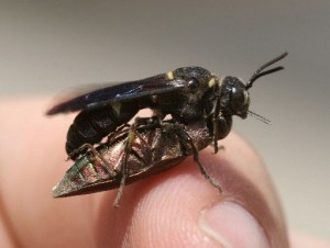 Cerceris wasp and EAB