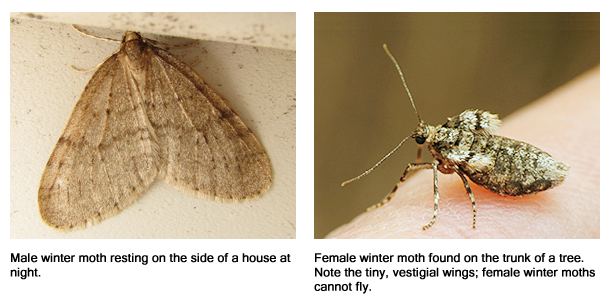 Male and female winter moth. Females have tiny, vestigial wings and are flightless.